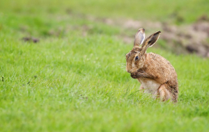 Hares Pictures