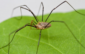 Harvestmen Wallpapers For Android