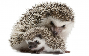 Hedgehogs Images