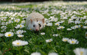 Hedgehogs Pictures