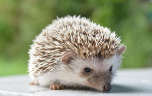 Hedgehogs Wallpapers For Android