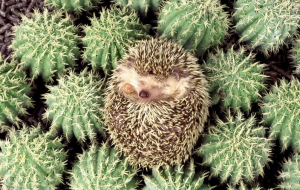 Hedgehogs Wallpapers For IPhone