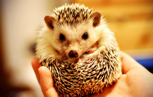 Hedgehogs Widescreen
