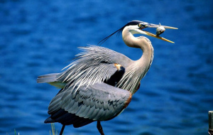 Herons Images