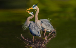 Herons Pictures