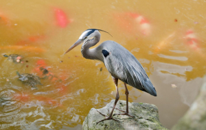 Herons Wallpapers For Android
