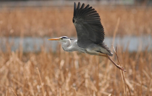 Herons Wallpapers For IPhone