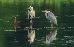 Herons Widescreen