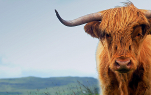 Highland Cow Beautiful Wallpaper
