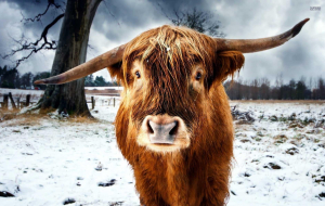 Highland Cow Computer Wallpaper