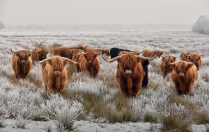 Highland Cow Gallery