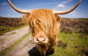Highland Cow High Resolution