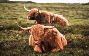 Highland Cow Images