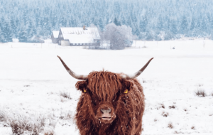 Highland Cow In HQ