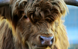 Highland Cow Photos