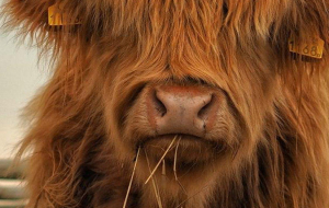 Highland Cow Pinterest