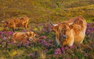 Highland Cow Wallpaper