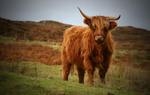 Highland Cow Wallpapers HQ