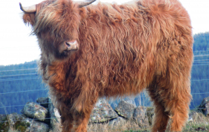 Highland Cow Wallpapers For Android