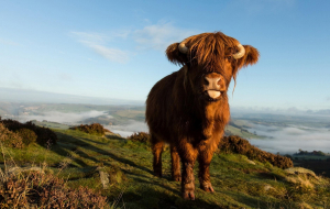 Highland Cow Wallpapers For IPhone