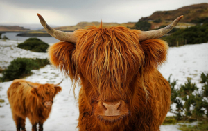 Highland Cow Wallpapers Pack