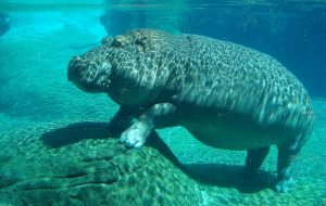 Hippopotamus Wallpapers For Android